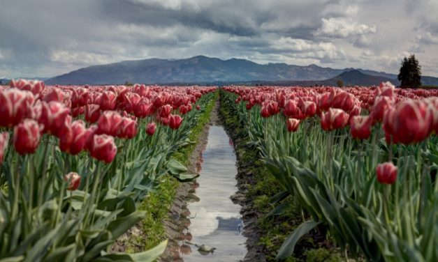 Our Tulips Did Not Bloom in Time, a poem