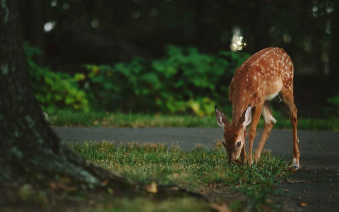 As a Young Fawn, I