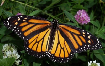 Will Our Generation Render the Monarch Butterfly Extinct?
