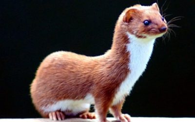How A Male Weasel Can Affect Your Fertility